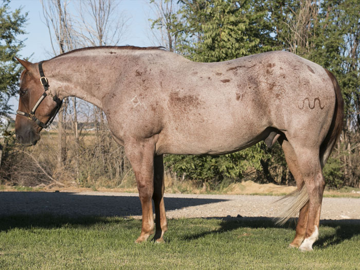 Reining Quarter Horse For Sale