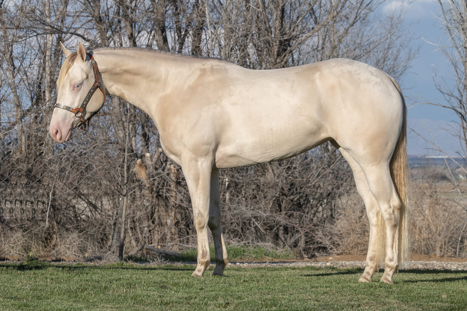 quarter horse reining mare for sale