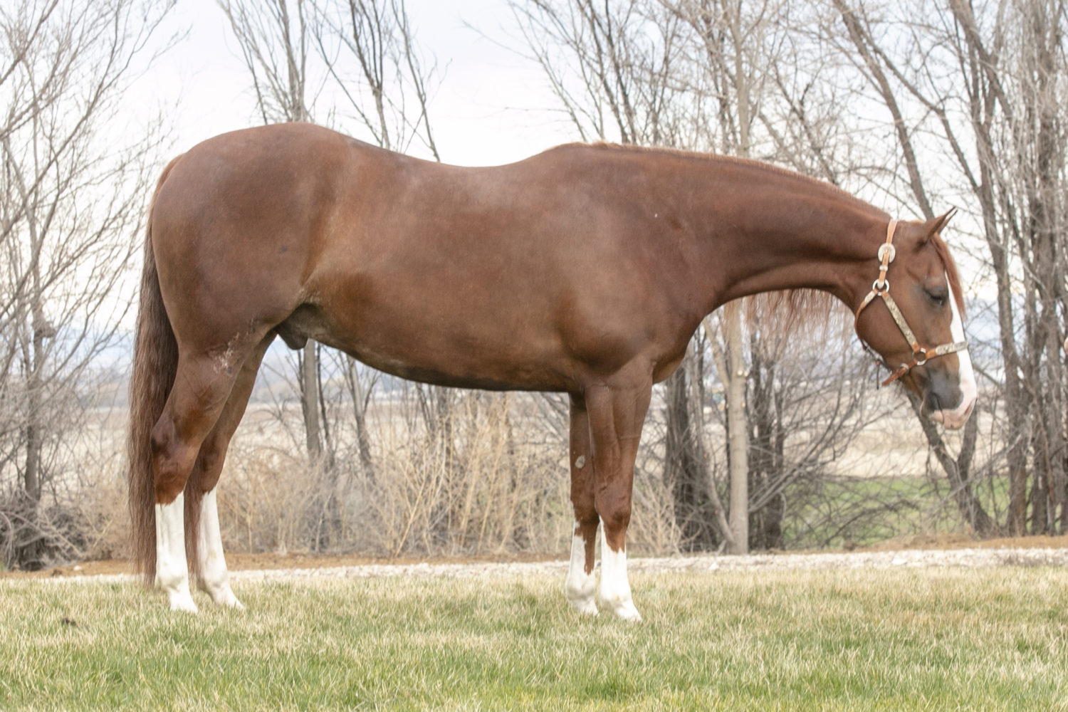 quarter horse reining gelding for sale