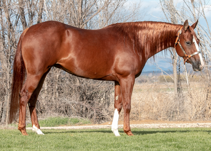 half arabian reining mare for sale